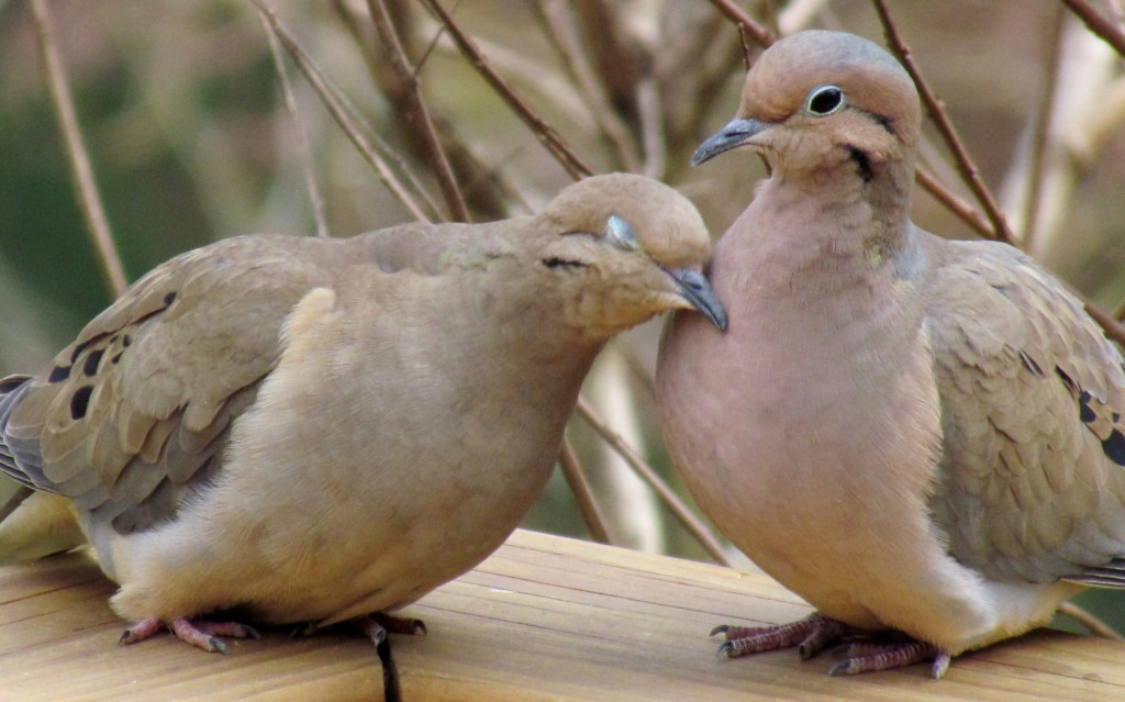 Zenaide Doves cuddling up on my back deck, named after Napoleon's niece